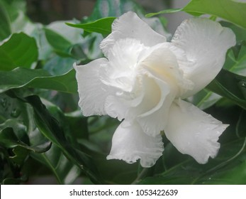 beautiful gardenia flower blooming in white color