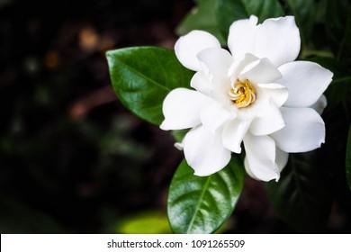 The beautiful Gardenia flower in the garden,it very good smells.Thailand flower.
