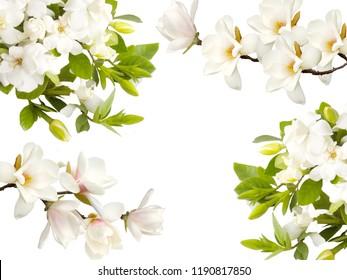 Beautiful Gardenia flower isolated on white background.