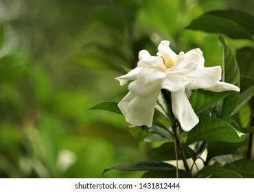 Beautiful gardenia flower (Gardenia jasminoides) blooming in the green garden background , Spring in GA USA.