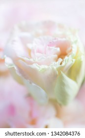 Beautiful and gentle pink Eustoma flowers, Lisianthus, tulip gentian, eustomas. Close up, vertical composition