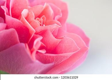 Beautiful gently pink rose close up