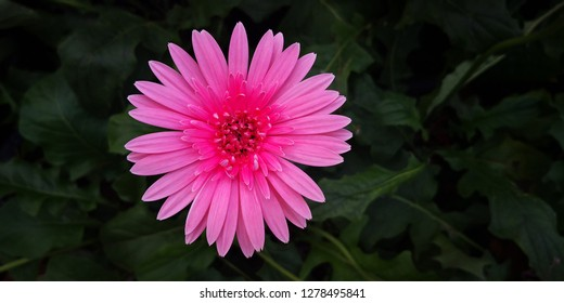 Beautiful gerbera is blooming,Gerber daisy close up, hybrid pink Gerbera or Barberton daisy flowers Daisy is a flower of Asteraceae family.Flower  background.