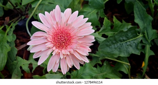 Beautiful gerbera is blooming,Gerber daisy close up, hybrid Gerbera or Barberton daisy flowers Daisy is a flower of Asteraceae family.Flower  background.