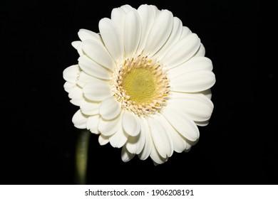 beautiful Gerbera Daisy close up