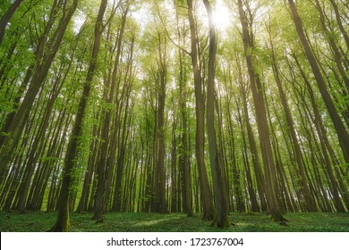 beautiful german beech forest, green mystic landscape with beech trees in a forest in summer, sunbeams pour through trees in forest, germany, island Rügen, Jasmund National Park