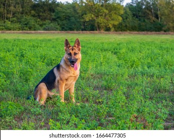 Beautiful german shepherd dog, smart and easy to train on the edge of the forest in Hungary