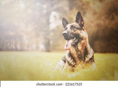 beautiful german shepherd dog dog trick in autumn nature