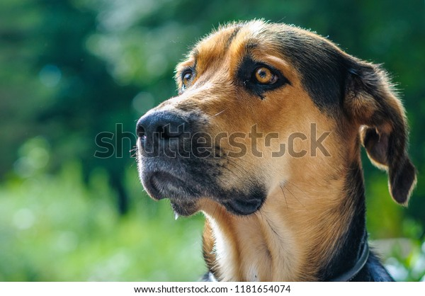 Beautiful German Shepherd Golden Retriever Mixed Stock Photo Edit