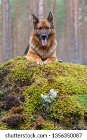 beautiful German shepherd on a grass in the forest