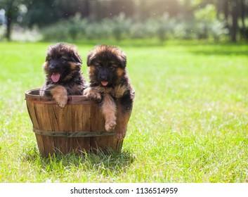 Beautiful German Shepherd puppies in the basket