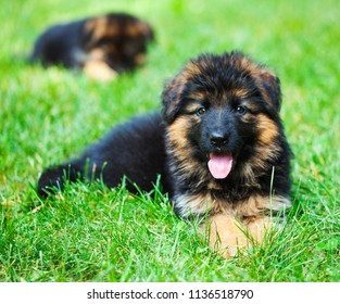 Beautiful German Shepherd puppies outside at summer