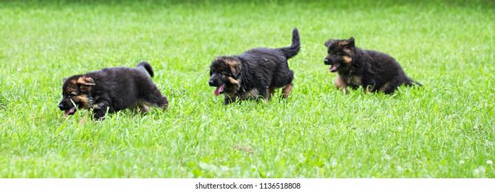 Beautiful German Shepherd puppies running in field outside at summer