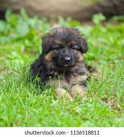 Beautiful German Shepherd puppy sitting on green grass
