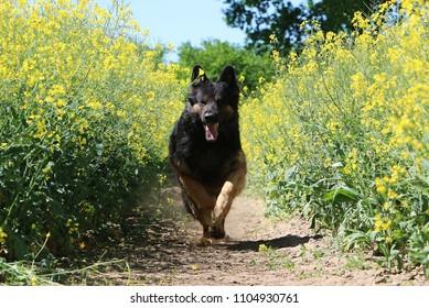 beautiful german shepherd is running in a rape seed field