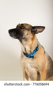 A Beautiful German Sheppard. Animal portrait against white background.