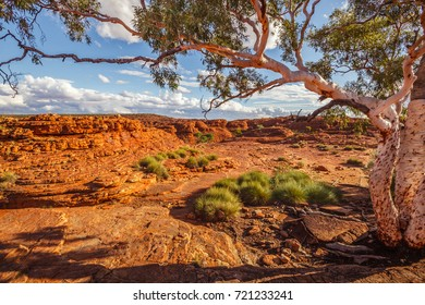 Beautiful ghost gum tree and tufts of spinifex grass in Kings Canyon, Northern Territory, Australia