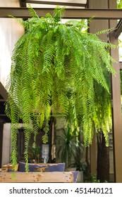 beautiful giant boston fern hanging pot in backyard garden
