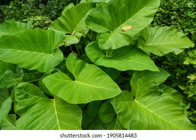Beautiful giant green taro leaves, Colocasia esculenta plant leaves, Green giant leaves.