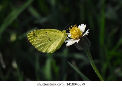 beautiful giant sulphur butterfly on flower
