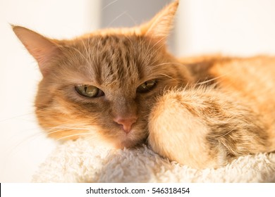 Beautiful Ginger Cat In an Apartment