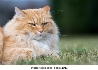 Beautiful ginger cat lying on the grass.