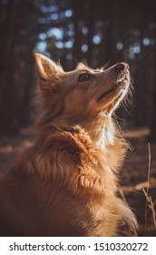 A beautiful ginger dog faithfully looks up at his master. Photo taken in a morning autumn forest at dawn. Close-up. Portrait orientation