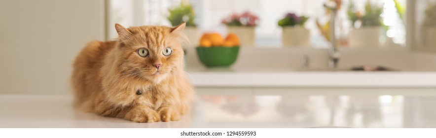 Beautiful ginger long hair cat lying on kitchen table on a sunny day at home