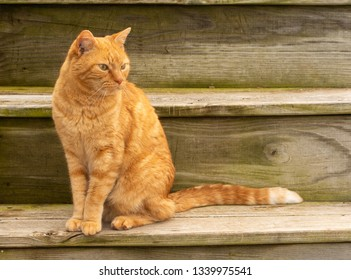 Beautiful ginger tabby cat sitting on rustic wooden steps outdooors