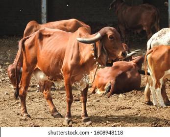 Beautiful Gir cow of my farm Maharashtra