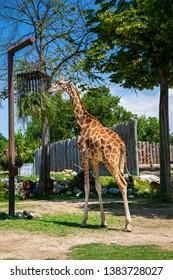 beautiful giraffe eating grass in the zoo in Italy