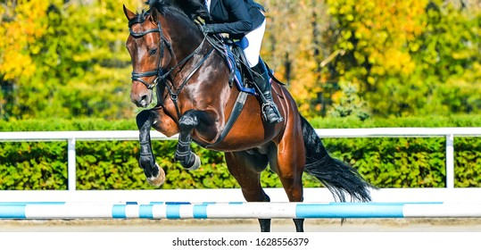 Beautiful girl on sorrel horse in jumping show, equestrian sports. Brown horse and girl in uniform going to jump. Web header or banner design.