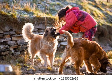 beautiful girl walks with two dogs breed leonberger on a farm in norway on a sunny day