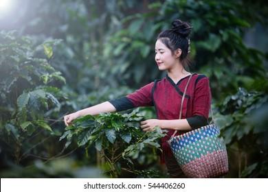 Beautiful Girls Laos is harvesting coffee berries in her coffee farm at Pakse Laos.