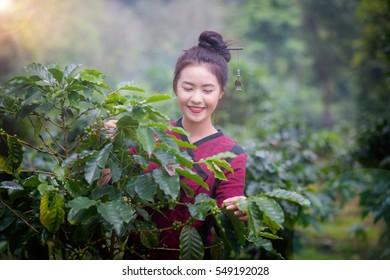 Beautiful Girls Laos is harvesting coffee berries in her coffee farm at Pakse Laos.Girl Southeast Asia.