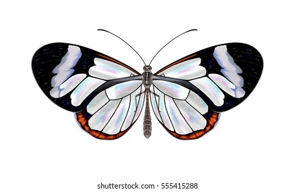 A beautiful Glasswinged butterfly (Greta oto) illustrated by Steven Russell Smith.