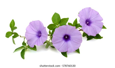 beautiful glory morning flowers isolated on white background