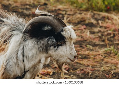 a beautiful goat with a beard and large round horns grazing in the garden. animal protection concept