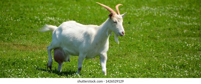 Beautiful goat behind in the natural reserve of Brijuni (also known as Brioni) National Park, Pula Istria region, Croatia