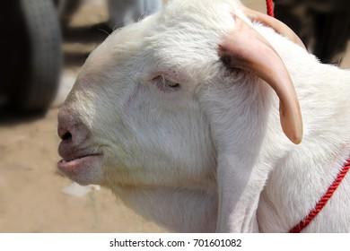 Beautiful goat in market