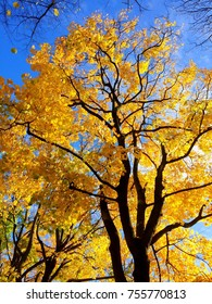 Beautiful Golden autumn tree with bright yellow leaves against blue sky