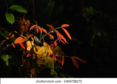 Beautiful golden back lite fresh red and gold leaves against dark background