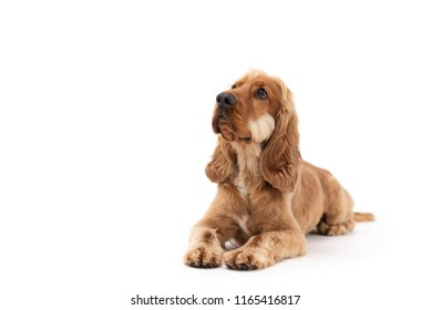 Beautiful Golden Cocker Spaniel dog laying down looking up to the side isolated against a white background