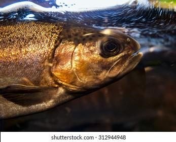 A beautiful golden colored salmon in a display aquarium.