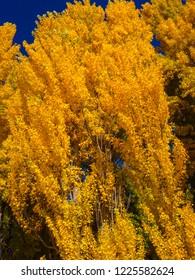 beautiful golden colored trees at Lake Wanaka in Wanaka town, New Zealand