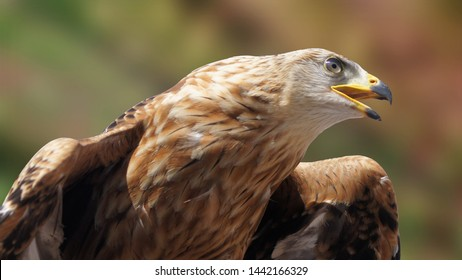 Beautiful golden eagle, a close up photo of golden eagle, predator bird