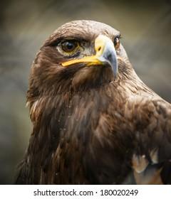 Beautiful Golden eagle portrait