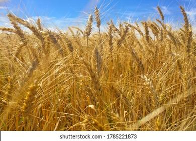 Beautiful golden field in windy weather