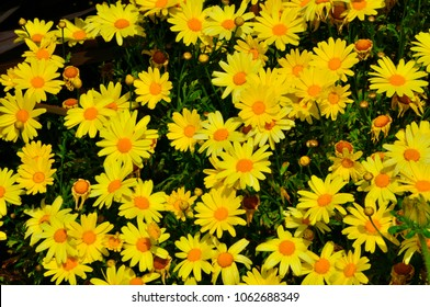 Beautiful golden flower yellow daisy