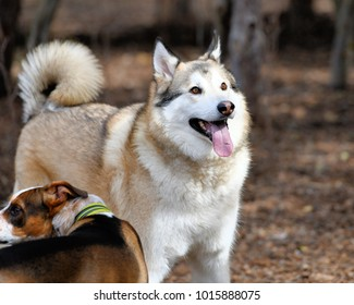 Beautiful Golden Husky playing in the Park